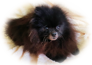 Waffles, my beloved Pom who fell asleep 20th September 2019
